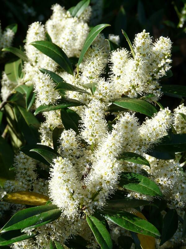 Bobkovišně - Prunus