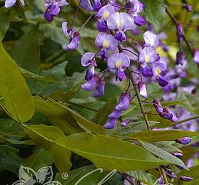 Japonská vistárie - Millettia japonica