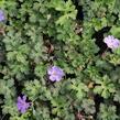 Kakost 'Buxton's Variety' - Geranium wallichianum 'Buxton's Variety'