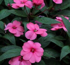 Netýkavka 'Sun Standing Pink' - Impatiens Neu-Guinea 'Sun Standing Pink'