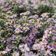 Hvězdnice vřesovcová 'Lovely' - Aster ericoides 'Lovely'