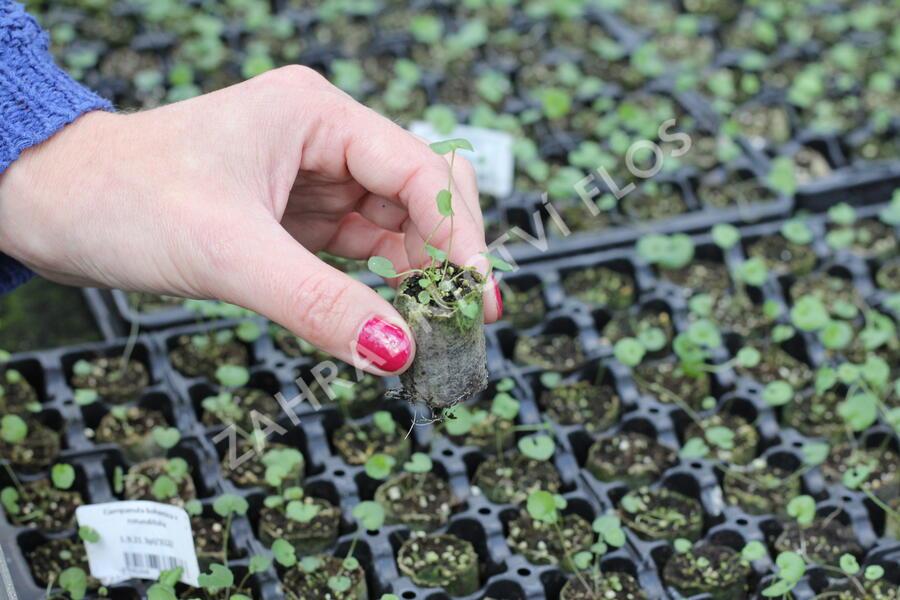 Zvonek český okrouhlolistý - Campanula bohemica x rotundifolia