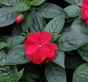 Netýkavka 'Wild Romance Red' - Impatiens New Guinea 'Wild Romance Red'