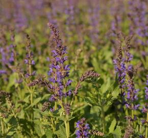 Šalvej hajní 'Spring King Mini' - Salvia nemorosa 'Spring King Mini'