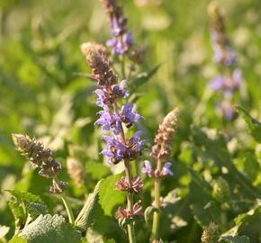 Šalvěj hajní 'Salute Ice Blue' - Salvia nemorosa 'Salute Ice Blue'