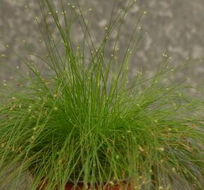 Bezostenka svěšená 'Rigatoni' - Isolepis cernua 'Rigatoni'