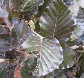 Buk lesní 'Dawyck Purple' - Fagus sylvatica 'Dawyck Purple'