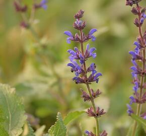 Šalvej hajní 'Spring King' - Salvia nemorosa 'Spring King'
