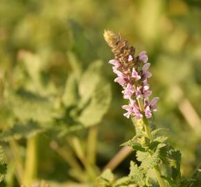 Šalvej hajní 'Salute Light Pink' - Salvia nemorosa 'Salute Light Pink'