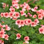 Pelargonium crispum ''''''''Angeleyes Orange'''''''' (3)