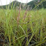 Miscanthus sinensis ''Ferner Osten''