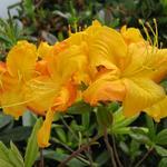 Rhododendron (KH) ''Klondyke'' (3)